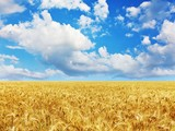 golden wheat field under a blue sky and sunshine