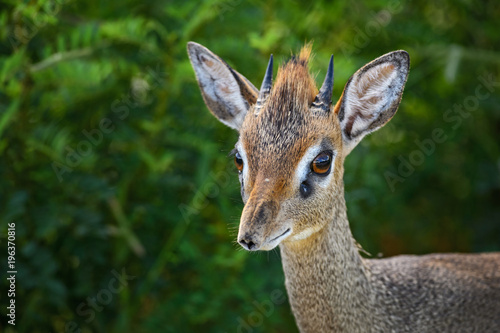 Fotobehang Hert Kirk's Dik-dik - Madoqua kirkii, small cute antelope from bush of East Africa, Tsavo National Park, Kenya.