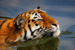 Portrait of a swimming Siberian tiger