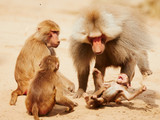 Baboon family having fun in the desert