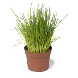Brown plastic pot with fresh chives - 196376225