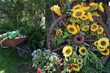 Sunflowers on wagon wheel in farm setting, summer day.