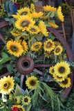 Sunflowers on wagon wheel in country setting, summer day.
