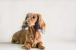 Dachshund dog posing in the studio background.