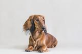 Dachshund dog posing in the studio background.