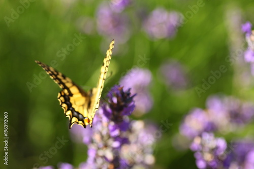 Fotobehang Lavendel Machaon