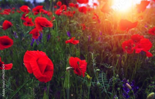 Tuinposter Klaprozen wild poppy flower at sunset