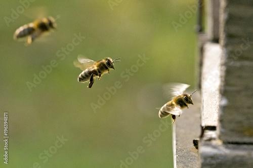 Fotobehang Bee Am Bienenstock