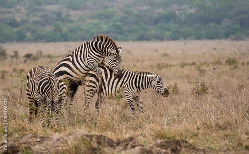 Zebras Mating Buy Photos Ap Images Detailview