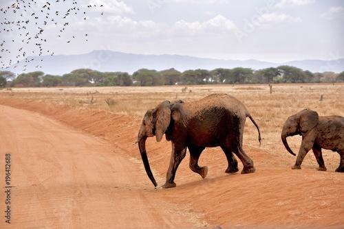 Fototapeta Wild elephants in Kenya