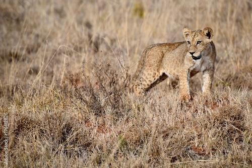 Fotobehang Lion Young lion, Kenya