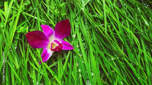 Banner Orchidea Viola Sullo Sfondo Verde Erba Rugiada Buy Photos