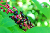 Ripe berries of American lacons close-up - 196422462