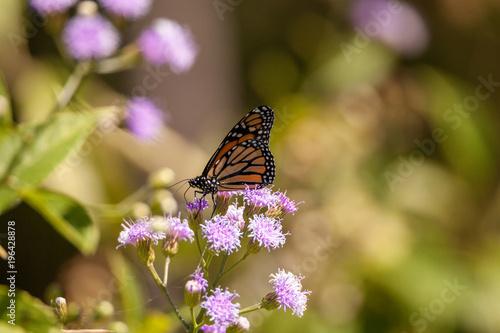 Fotobehang Vlinder Monarch butterfly Danaus plexippus on a purple flower