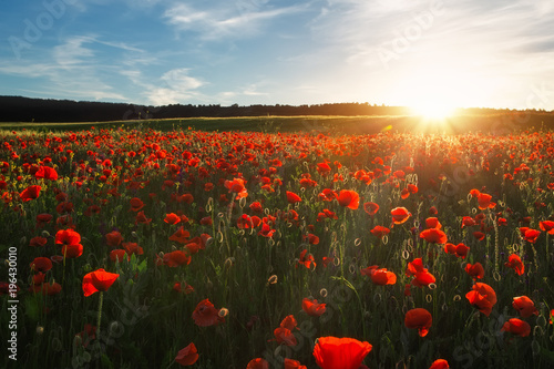 Fotobehang Klaprozen Field with red poppies, colorful flowers against the sunset sky