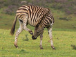 Zebra scratching that itch