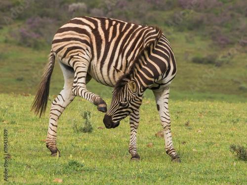 Zebra scratching that itch