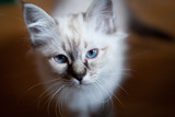 Young adorable white Sacred Birman kitten - 196438875