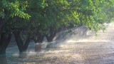 Almond trees are watered in a California field during a period of drought. - 196442015