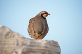 Chukar Partridge - 196444012