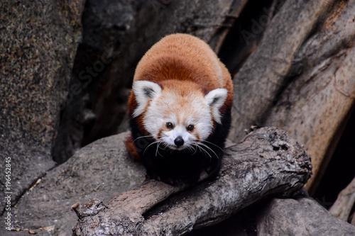 Aluminium Panda Red Panda Firefox Mammal Animal