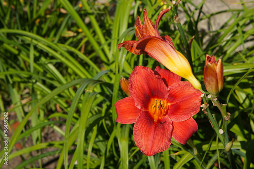 Daylily hemerocallis red flower with green leaves