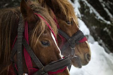 Close up of two horses in winter