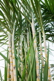 The stems of sugar cane on a white background.