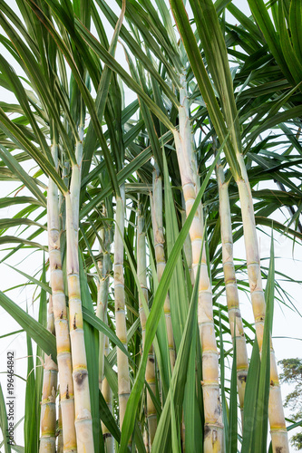 Fotobehang Bamboe The stems of sugar cane on a white background.