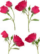 four dark pink roses flowers isolated on white