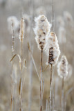 Cattails by a lake, seeds are dispersed by the wind, selective focus - 196470402