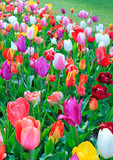 Colorful tulips, Easter card.