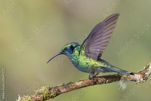 Zielony Hummingbird Violetear stowarzyszenia Leading oddział w Kostaryce