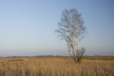 Birch without leaves on a steppe meadow