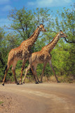Fototapeta Sawanna - Dwie żyrafy idące drogą, Park Narodowy Krugera, RPA © Agnieszka