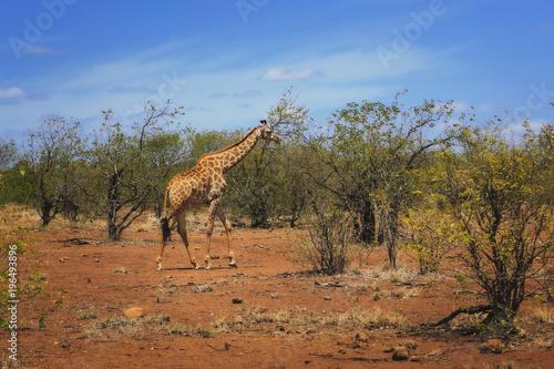 Fototapeta Żyrafa na sawannie, Park Narodowy Krugera, RPA