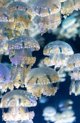 Fototapeta Jellyfish, S.E.A. Aquarium, Singapore