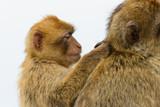 Monkey mum and Baby - 196495273