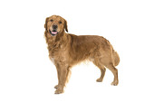 Dark male golden retriever dog standing looking at the camera isolated on a white background - 196501631