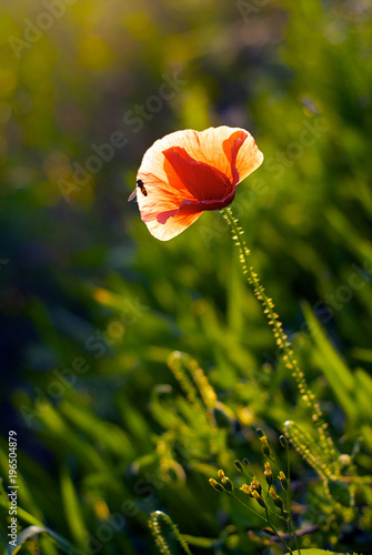 Fotobehang Klaprozen Lonely long red poppy with a bug