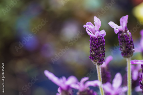 Fotobehang Lavendel purple flower
