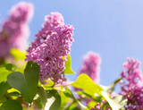Lilac flowers on a tree in spring - 196508449