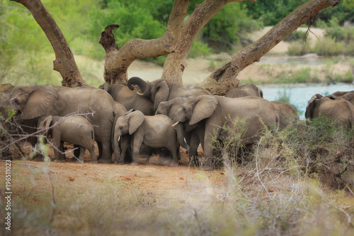 Fototapeta Stado słoni, rodzina słoni, Park Krugera, RPA