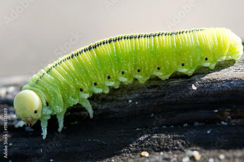 Fotobehang Vlinder green Caterpillar close-up on a black background