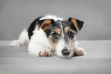 Jack Russell mixed breed - 196514878