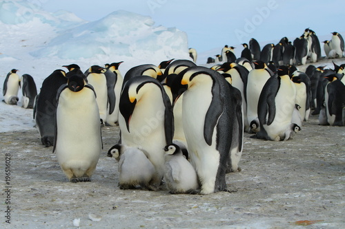 Aluminium Antarctica Emperor penguins (aptenodytes forsteri)with Chicks in the colony on the ice of the Davis sea, East Antarctica