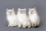 Small Siberian Neva Masquarade colorpoint kittens