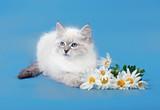 Siberian Neva Masquarade colorpoint kitten