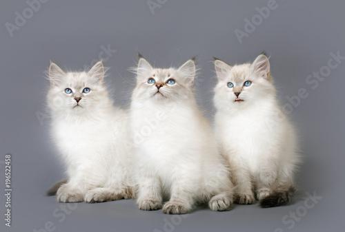 Small Siberian Neva Masquarade colorpoint kittens - 196522458