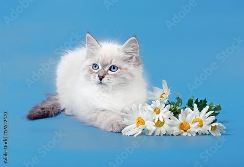 Fotobehang Kat Siberian Neva Masquarade colorpoint kitten